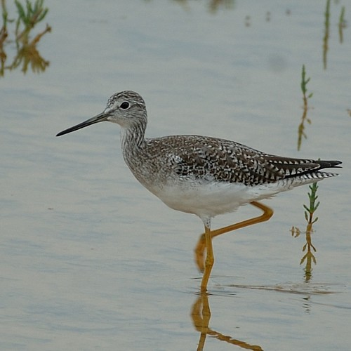 greater_yellowlegs