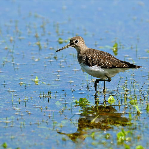 lesser_yellowlegs