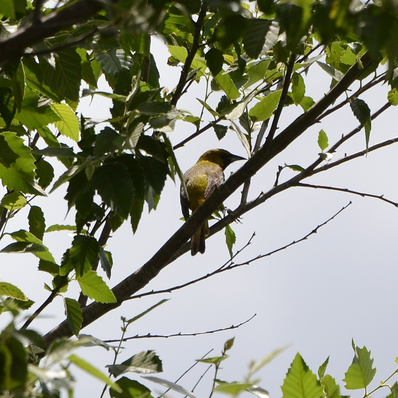 orchard_oriole