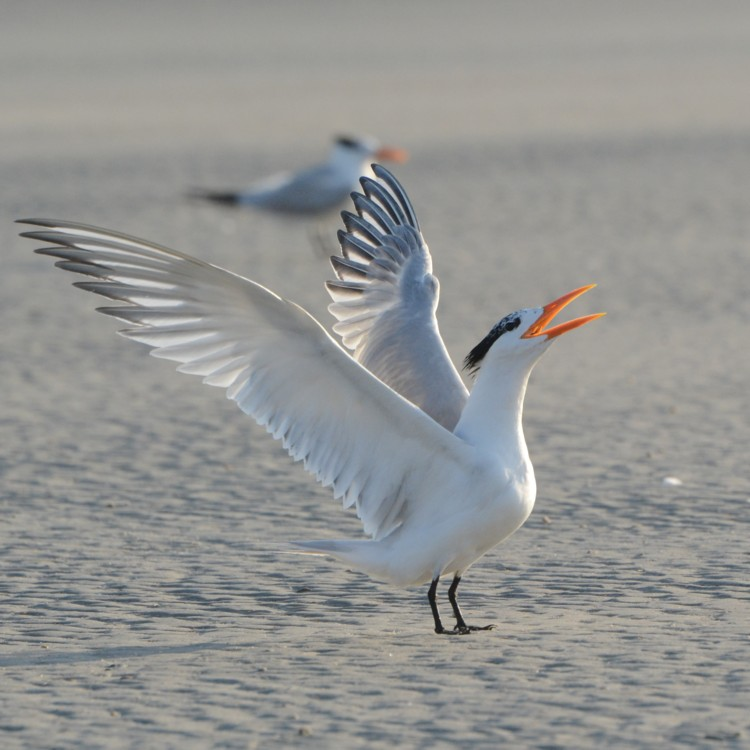 royal_tern