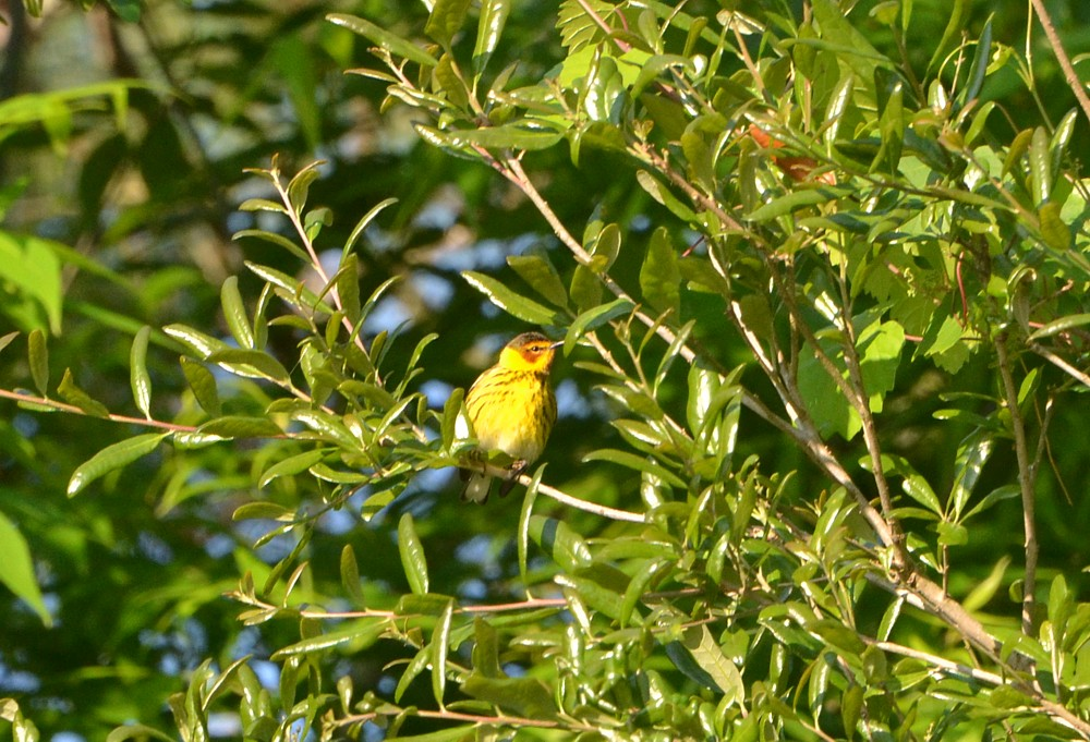 Cape-may Warbler Reddie Point, 4-6-2014