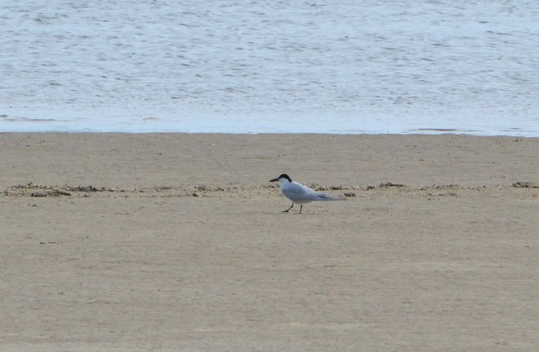 Gull-billed Tern, Huguenot Park 4-3-2014