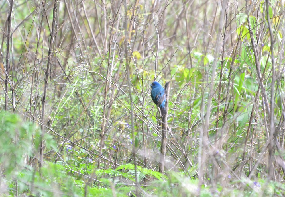 Indigo Bunting Reddie Point 4-3-2014