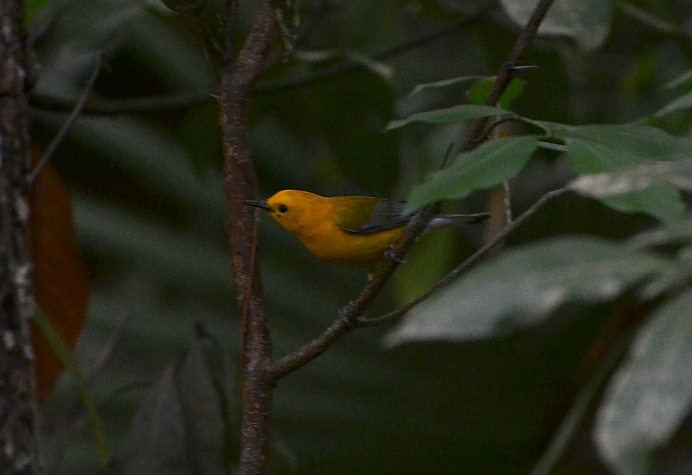 Prothonotary Warbler, Theodore Roosevelt Area, 4-6-2014