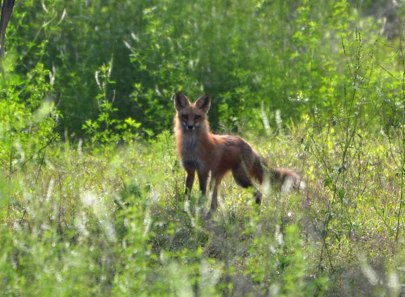 Red Fox at Reddie Point Preserve
