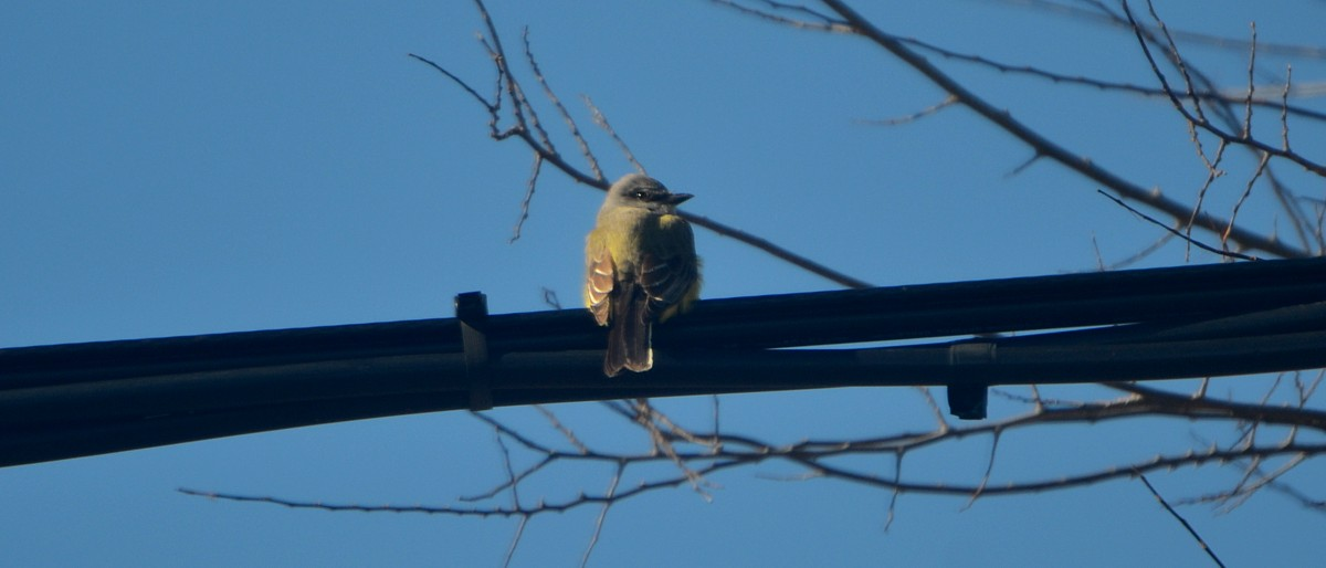 Western Kingbird at Heckscher Road