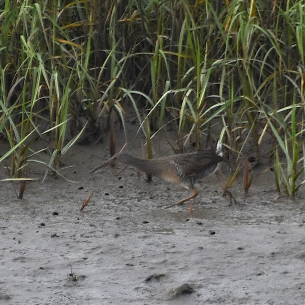 Clapper Rail...  NO PHOTO YET