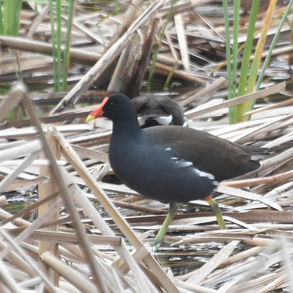 Common Gallinule...  NO PHOTO YET