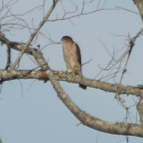 Coopers Hawk...  NO PHOTO YET