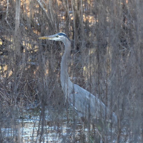 Great Blue Heron...  NO PHOTO YET