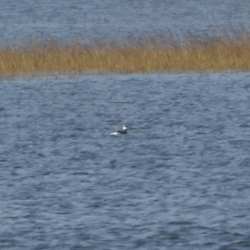 Horned Grebe...  NO PHOTO YET