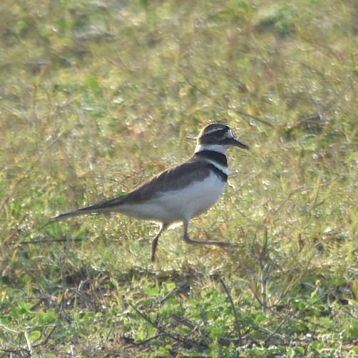 Killdeer...  NO PHOTO YET