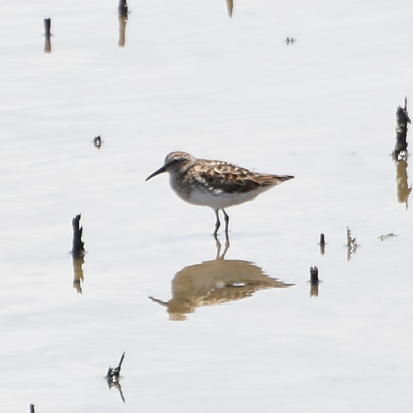 Least Sandpiper...  NO PHOTO YET