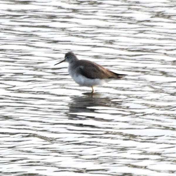 Lesser Yellowlegs...  NO PHOTO YET