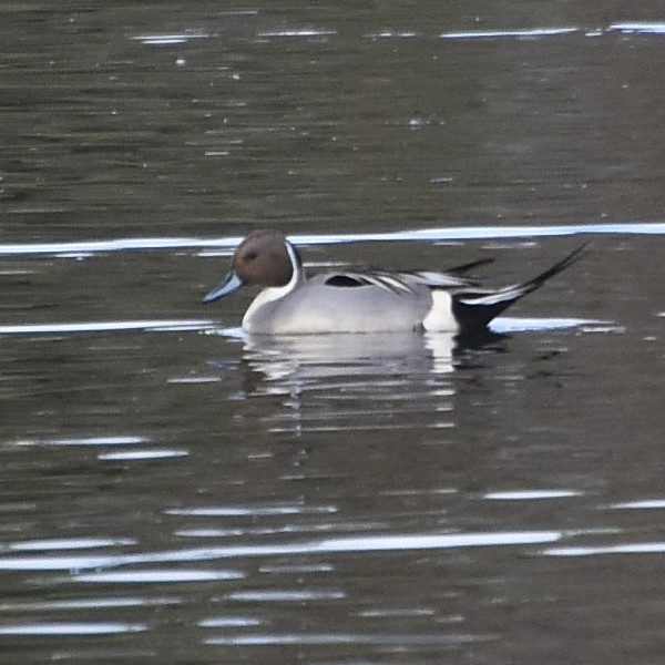 Northern Pintail...  NO PHOTO YET
