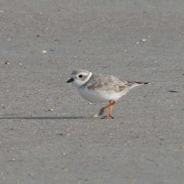 Piping Plover...  NO PHOTO YET