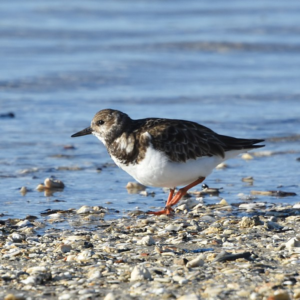 Ruddy Turnstone...  NO PHOTO YET