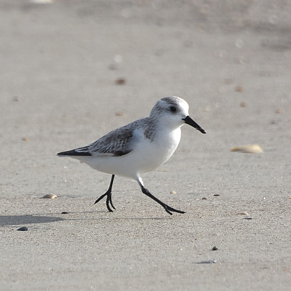 Sanderling...  NO PHOTO YET