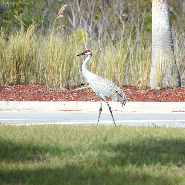 Sandhill Crane...  NO PHOTO YET