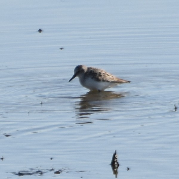 Semipalmated Sandpiper...  NO PHOTO YET