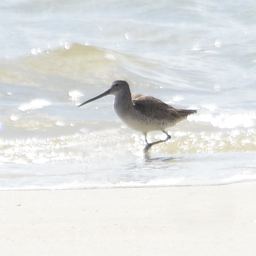 Short-billed Dowitcher...  NO PHOTO YET