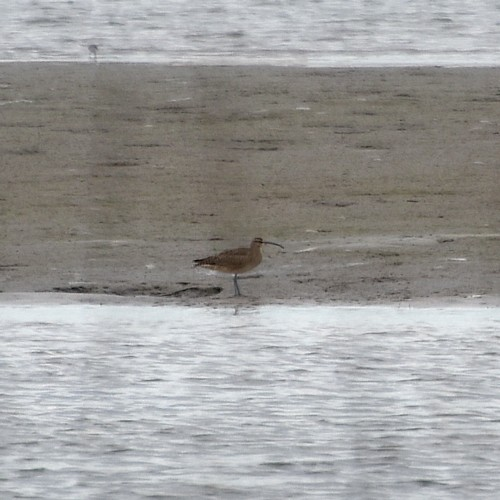 Whimbrel...  NO PHOTO YET