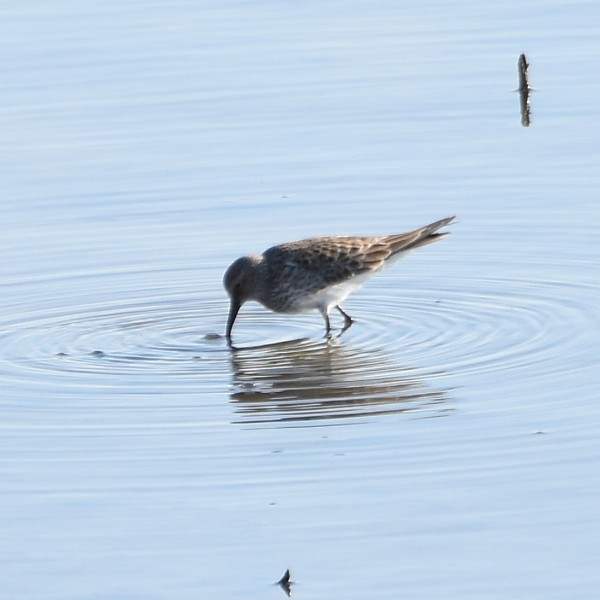 White-rumped Sandpiper...  NO PHOTO YET