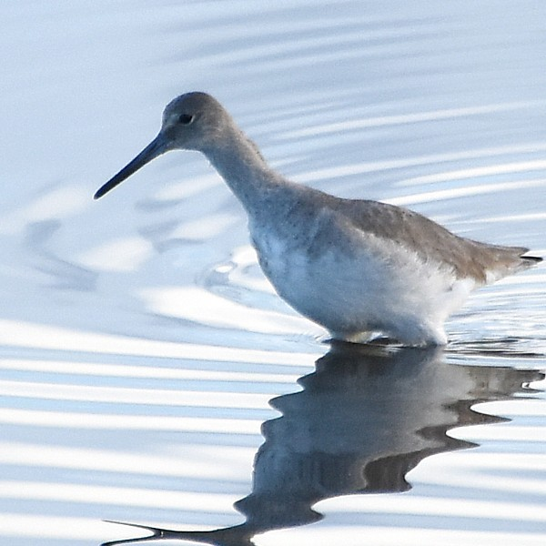 Willet...  NO PHOTO YET