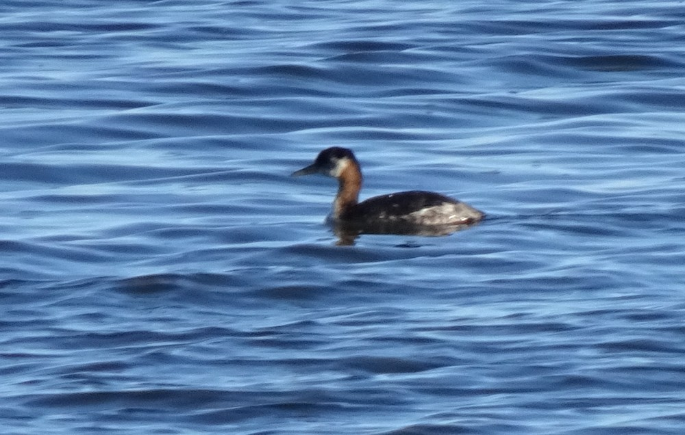 Red-necked Grebe 1-1-2019