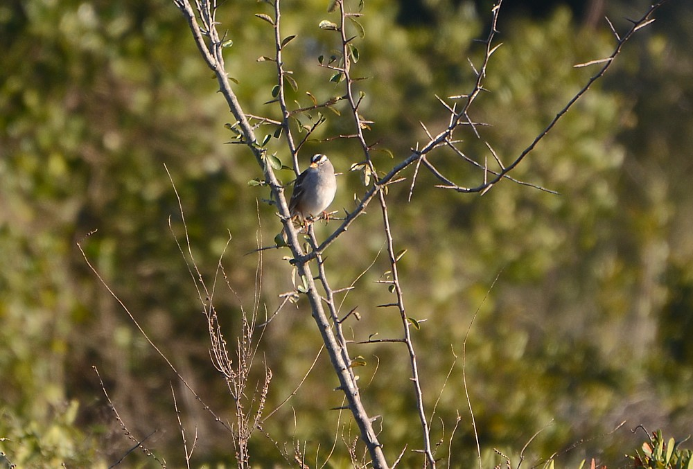 White-crowned Sparrow 2-8-2015 at Little Talbot Island