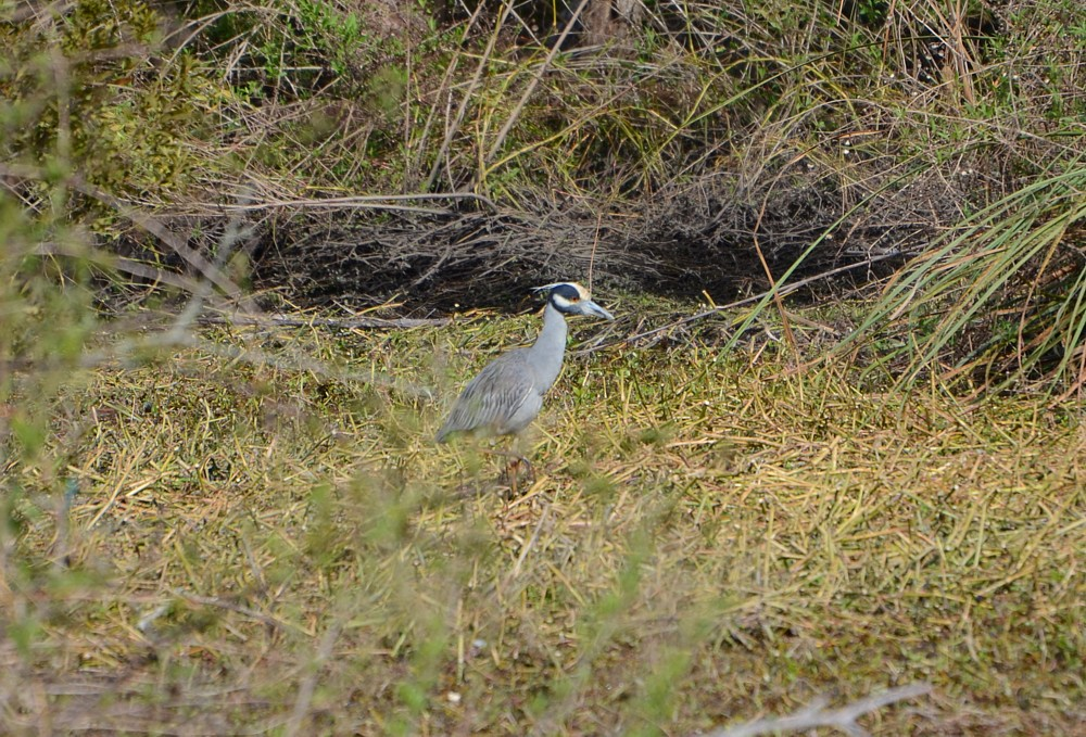 Yellow-crowned Night-Heron 2-21-2015 at Ringhaver Park