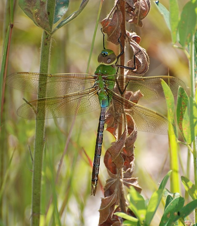 Common Green-Darner