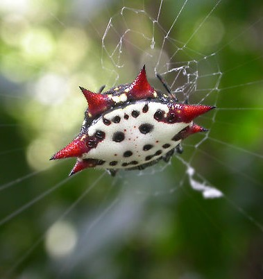 Crab-Like Spiny Orb Weaver