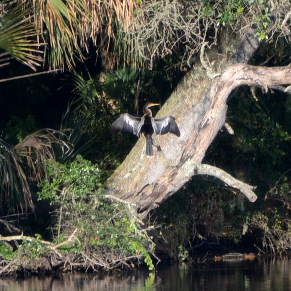 Anhinga...  NO PHOTO YET