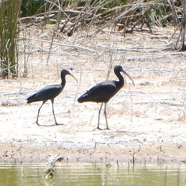 Glossy ibis...  NO PHOTO YET