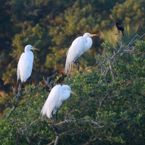 Great Egret...  NO PHOTO YET
