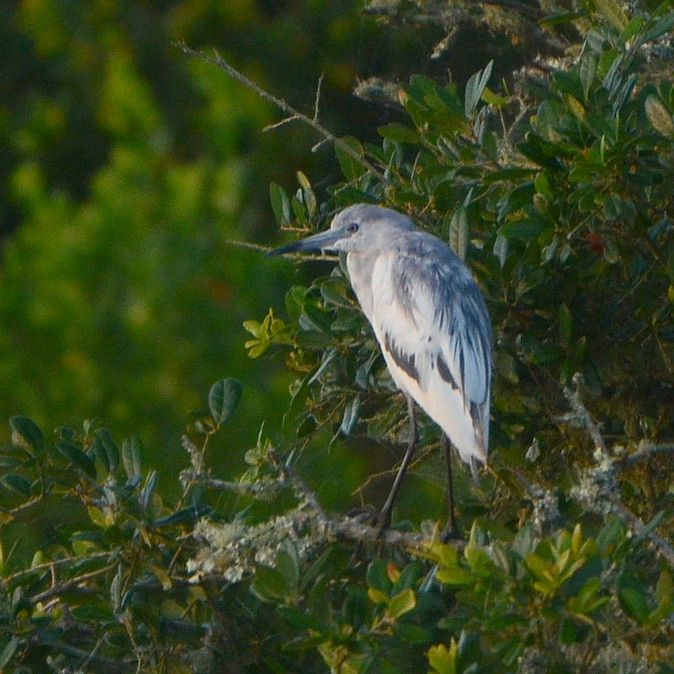 Little Blue Heron...  NO PHOTO YET