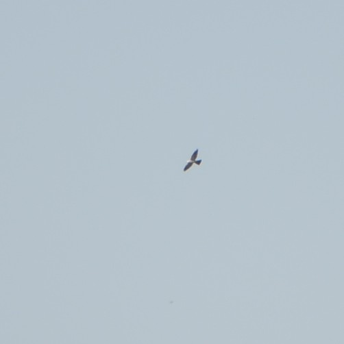 Mississippi Kite...  NO PHOTO YET