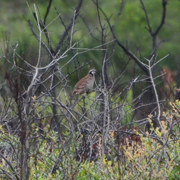 Northern bobwhite...  NO PHOTO YET