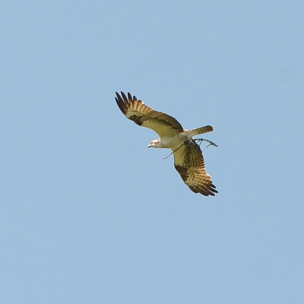 Osprey...  NO PHOTO YET