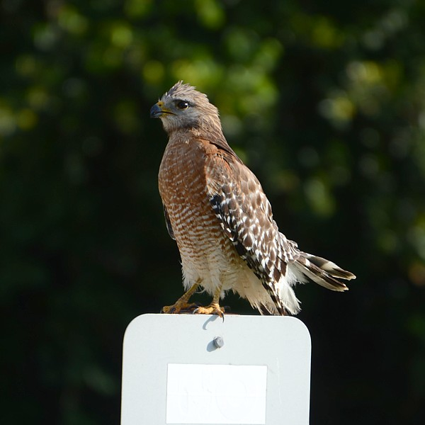 Red-shouldered Hawk...  NO PHOTO YET