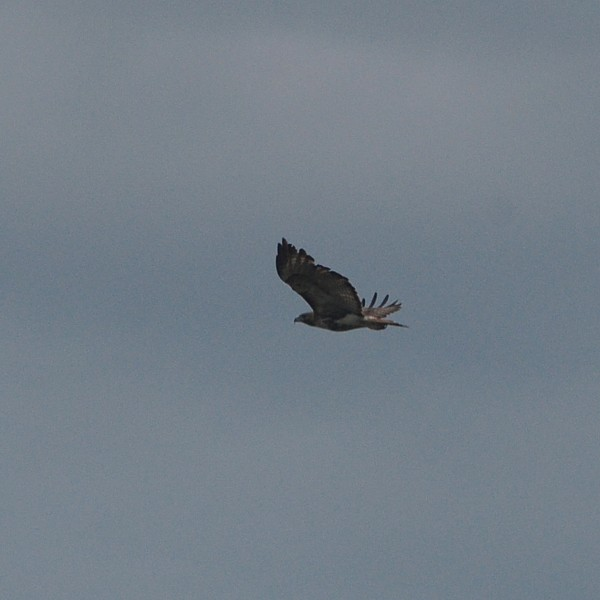 Red-tailed Hawk...  NO PHOTO YET