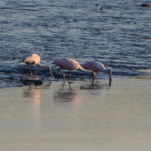 Roseate Spoonbill...  NO PHOTO YET