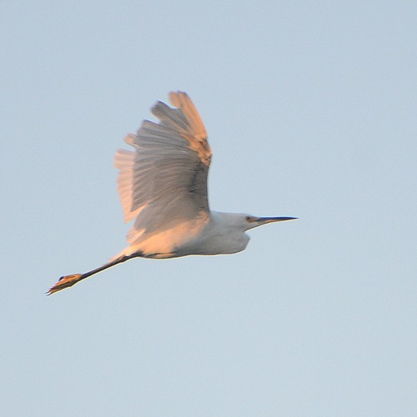 Snowy Egret...  NO PHOTO YET