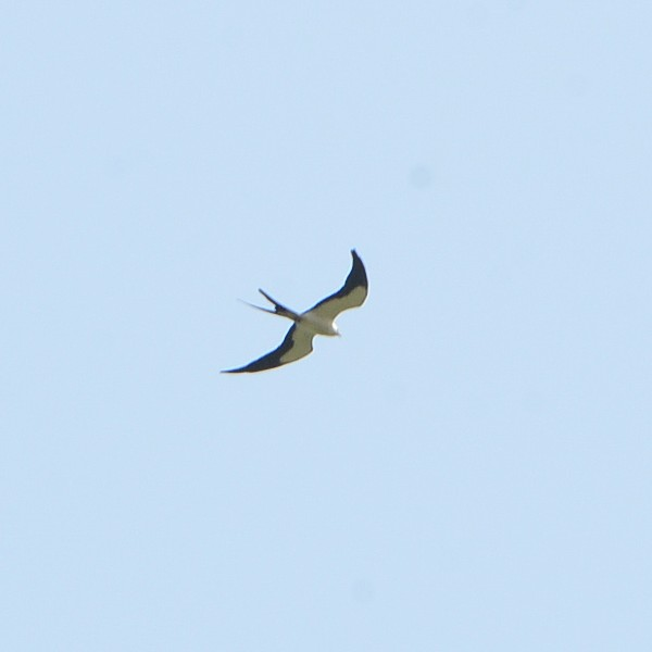 Swallow-tailed Kite...  NO PHOTO YET