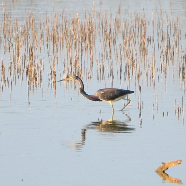 Tricolored Heron...  NO PHOTO YET