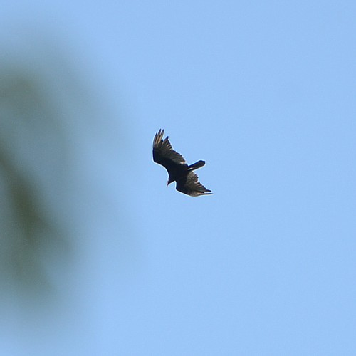 Turkey Vulture...  NO PHOTO YET