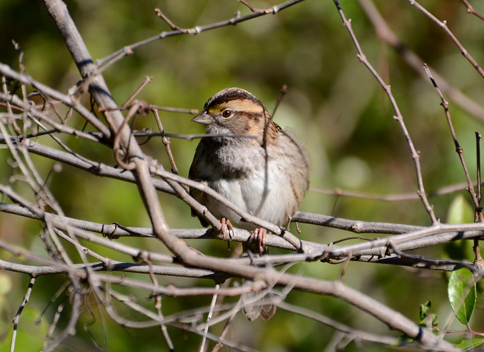 White-throated Sparrow - 12-17-2014, Hanna Park