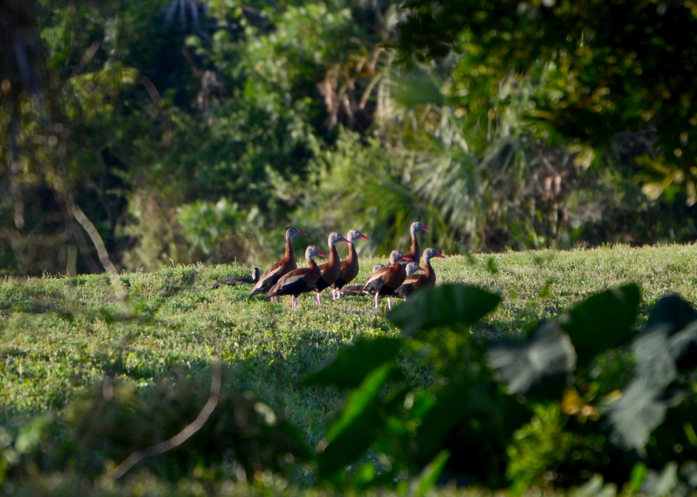 Black-bellied Whistling Ducks at Hanna Park, 5-22-2015
