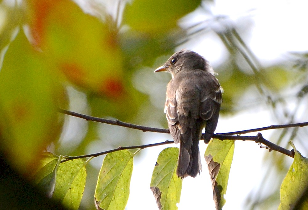 Eastern Wood-pewee at Reddie Point